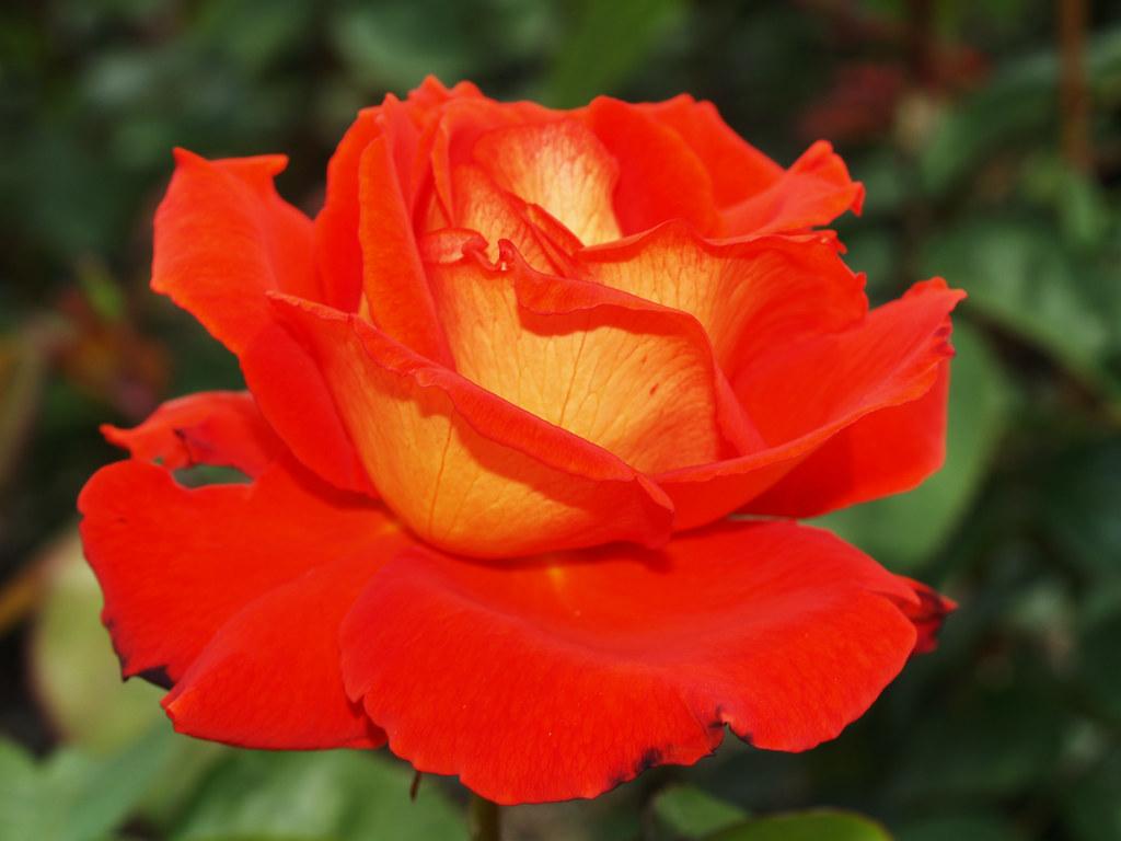 Roza - Rose Teehybride Las Vegas