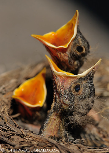 Baby Robins | by johnwmacdonald