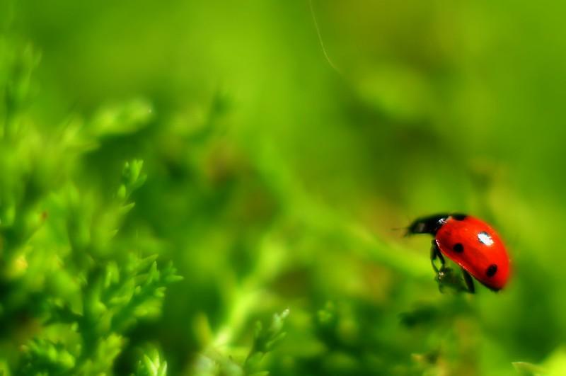 Samyang 85mm Macro - Ladybird
