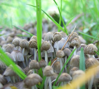 Mushroom clump   by afternoon_sunlight