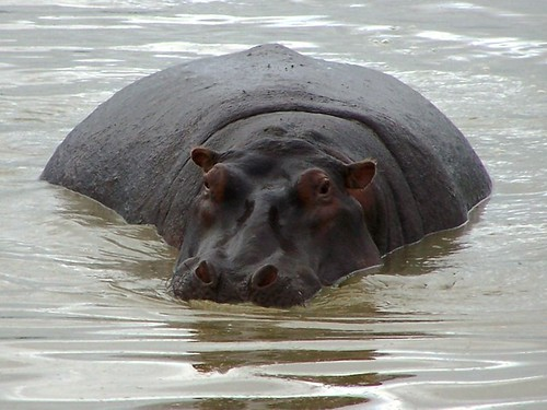 Hippo in Ngorongoro Crater | by geoftheref