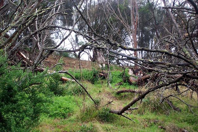 Bush Kangaroo