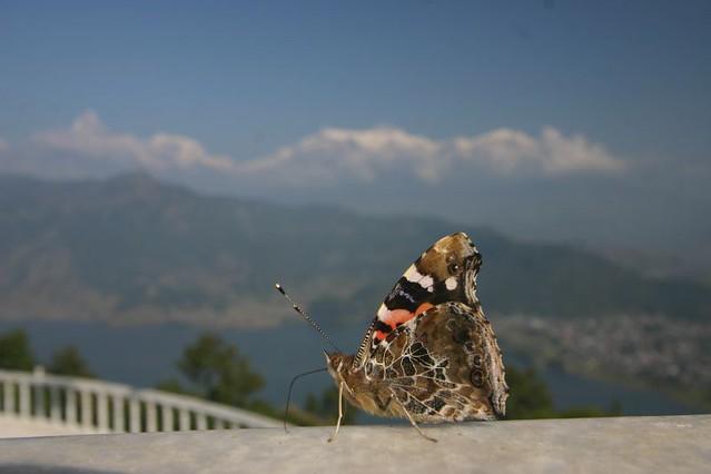 Butterfly with a Himalayan backdrop...World Peace Pagoda, Pokhara.