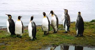 Königs Pinguin