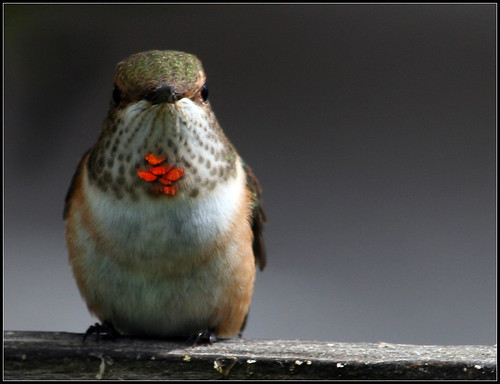canada female bc searchthebest rufoushummingbird selasphorusrufus naturesfinest genoabay gorget featheryfriday top20birdshots specanimal explore406 cc49 avianexcellence flickrwildlife