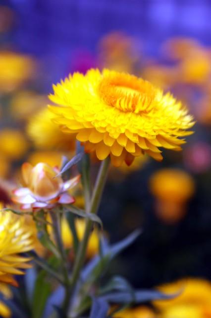 A strawflower beauty