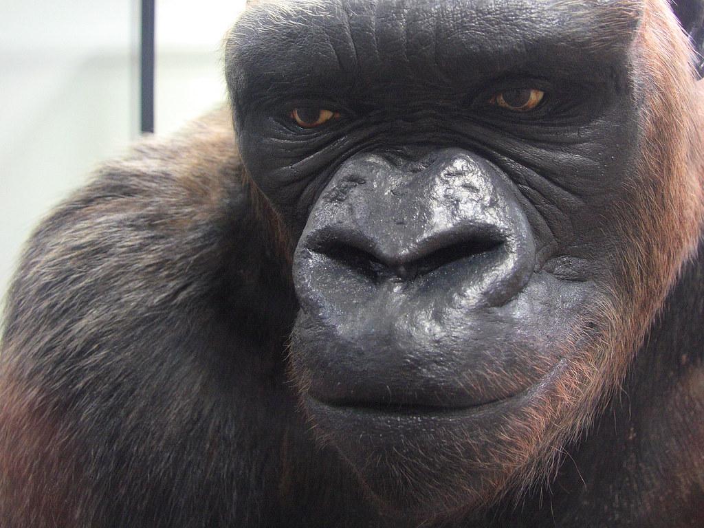 Gorilla named Bushman sitting in his cag Pictures | Getty ...  |Bushman Gorilla Death
