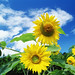 1600x1200_Blue_Sky_Flowers_HM058_350A by today_is_good162