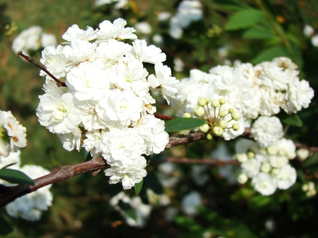 Coronita de novia / Thunberg's meadowsweet (Double Bridal Wreath Spiraea)