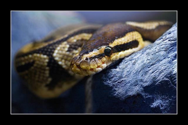 Ball Python (Königspython, Python regius)