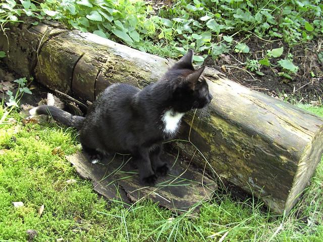 Lisa-my friend Ginstrecat cat