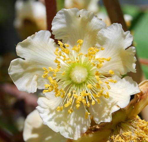 Kiwi fruit flower