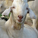 Goat Test 2006-07