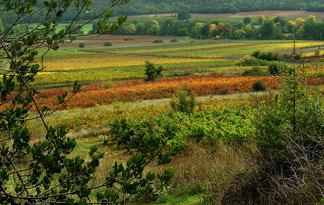 Vignes d'automne - Seillons (Var)