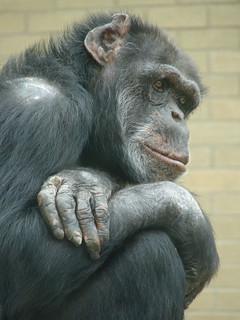 Contemplative Chimp | by gripso_banana_prune