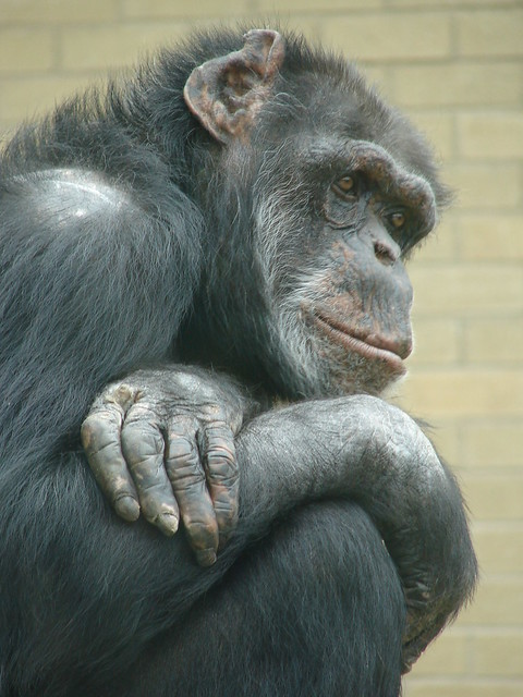 Contemplative Chimp