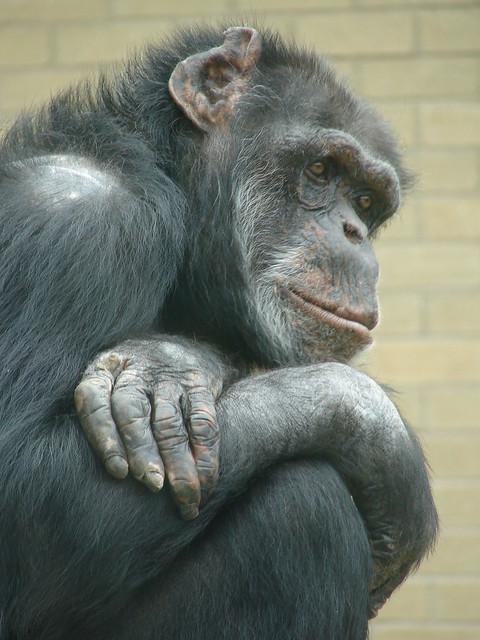 Contemplative Chimp