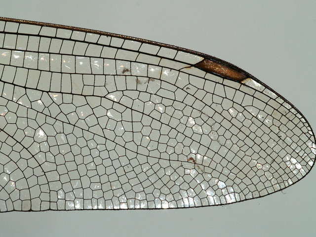 Wing of a dragonfly, detail