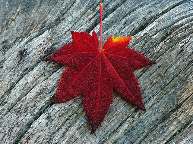 Vine Maple Leaf - Red 0052_100506