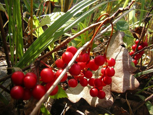 Berries of Schisandra chinensis / チョウセンゴミシ | by winter74