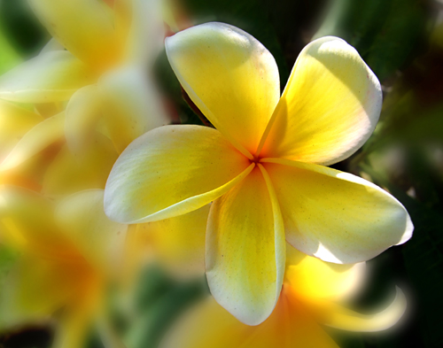Yellow Plumeria