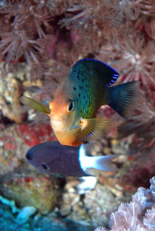 Rusty Angelfish - Centropyge ferrugatus