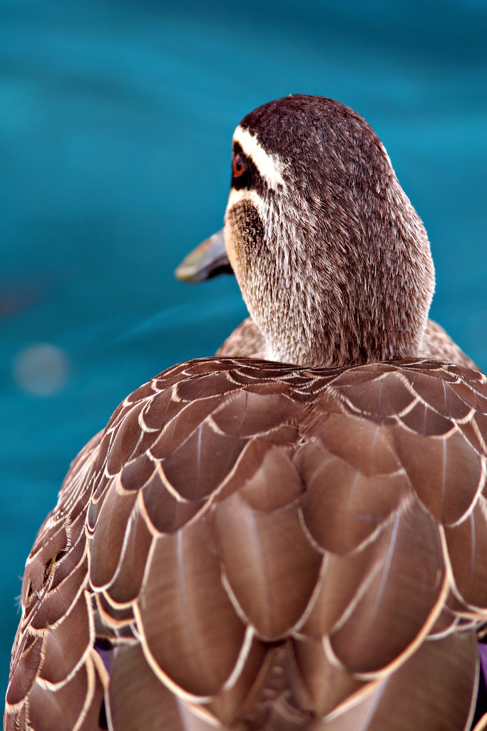 Image: Water off a Duck's Back