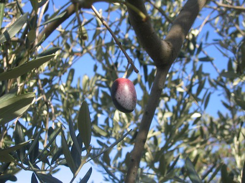 The Olive that Escaped | by MsAdventuresinItaly
