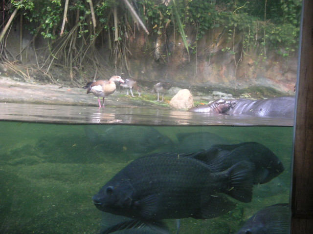 fish+duck+hippo