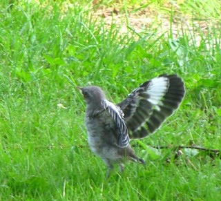 Baby Bird learning to fly   Carol   Flickr