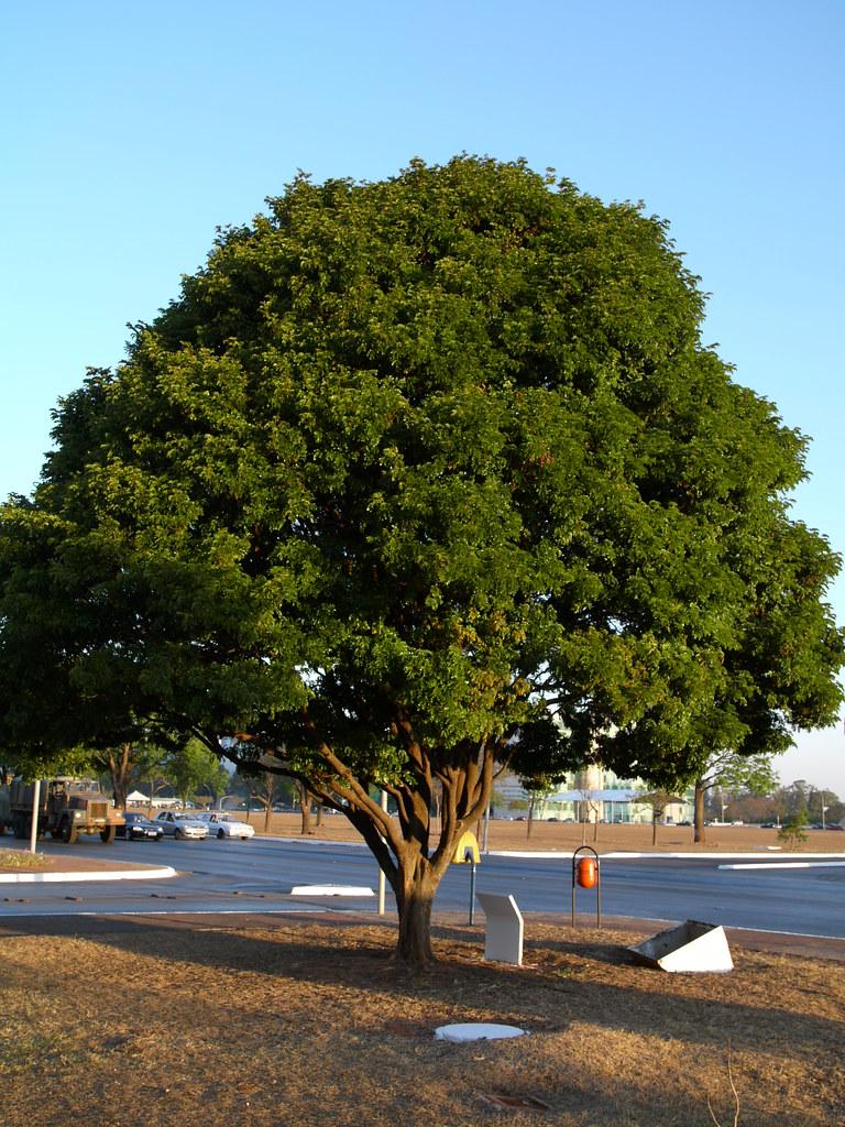 Árvore do Pau-Brasil - Brasília | © Copyright 2007 ...