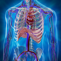 3D circulatory system #3
