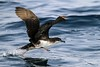Persian Shearwater, Puffinus persicus by Tommy Pe Pe