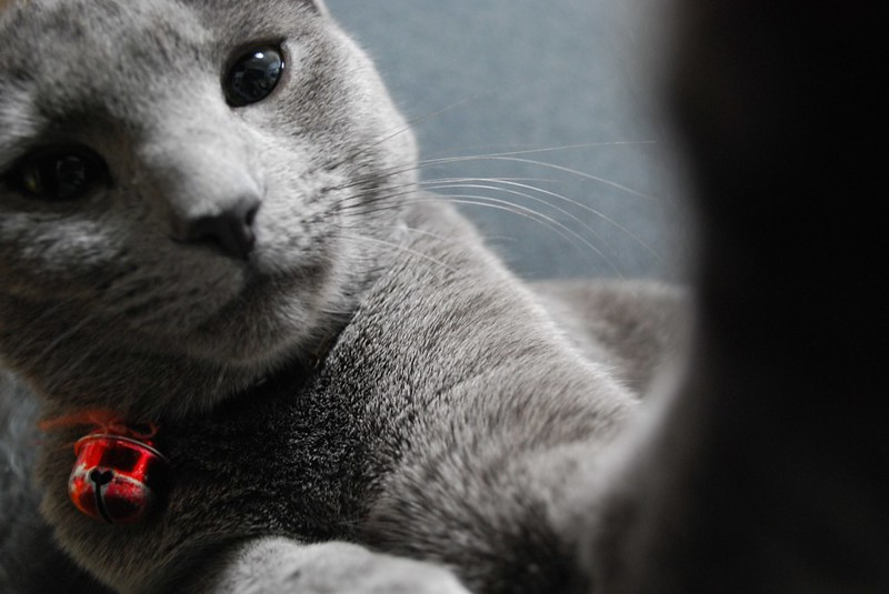 Coo the Russian Blue 09