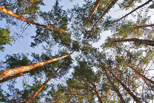 Pine Forest   by Andrey Belenko