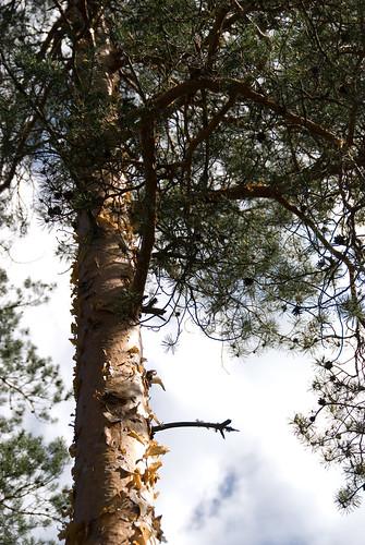 Pine   by denovich