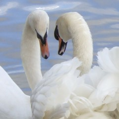 Swan love   by monkeywing