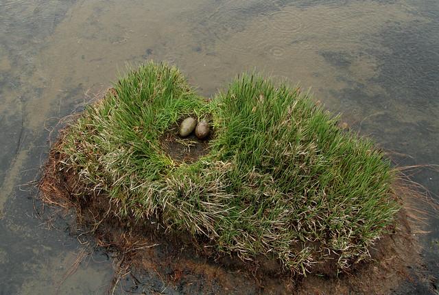 Lómshreiður - Red-throated Diver - Gavia Stellata nest