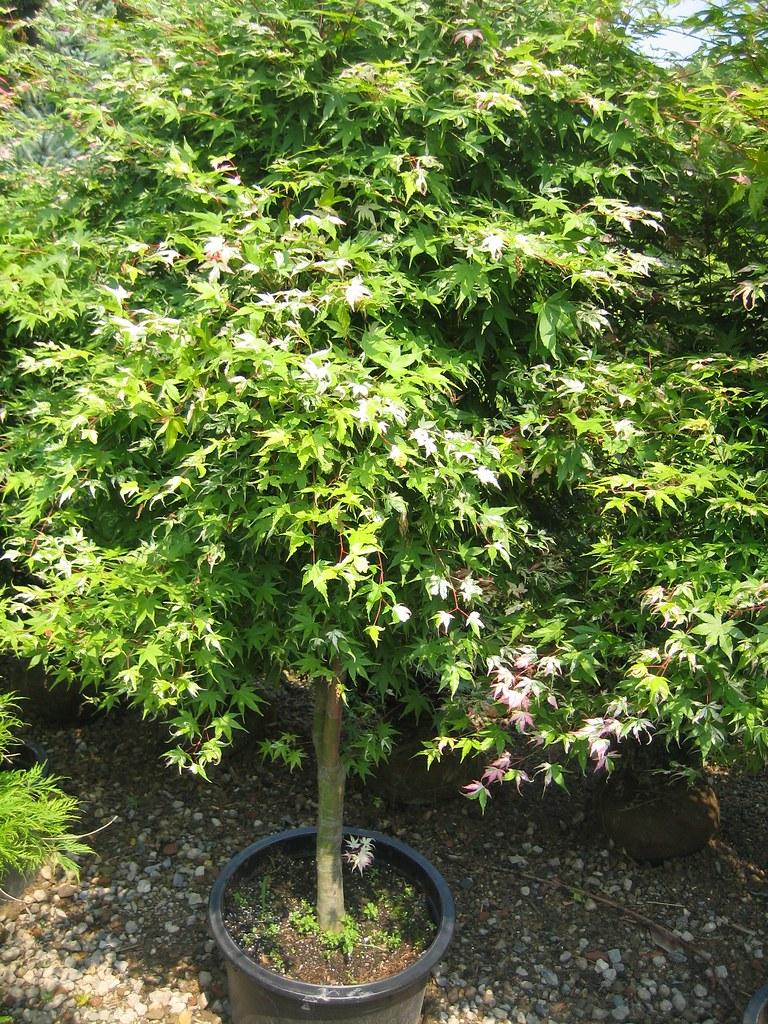 Acer Palmatum Orido Nishiki At Martin Viette George0102 Flickr