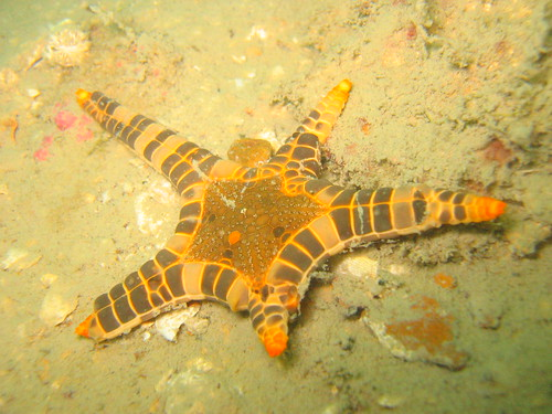 Icon Sea Star (Iconaster longimanus)