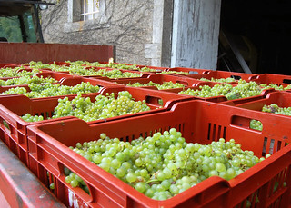 French-Grapes-after-picking