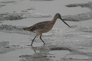 Marbled Godwit-IMG_7142-MV Baylands-Crop | by gimlack
