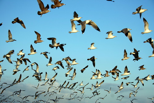 Gulls in Flight | by John-Morgan