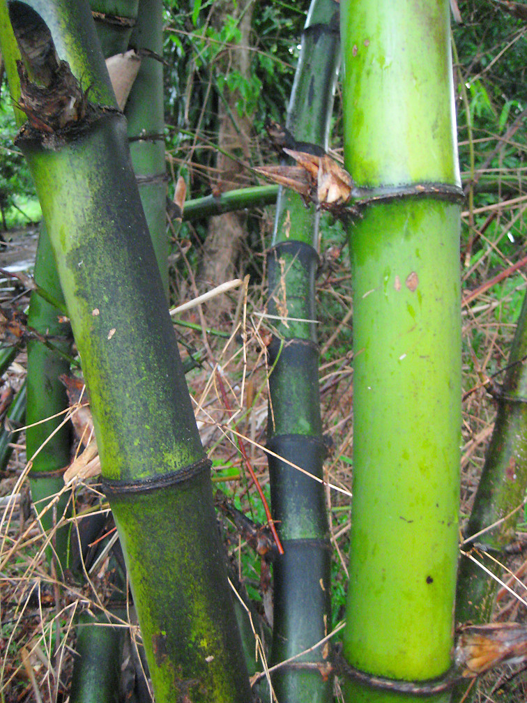 Bayog Bamboo There Are Four Main Types Found The