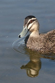 Pacific Black Duck | by mrdehoot
