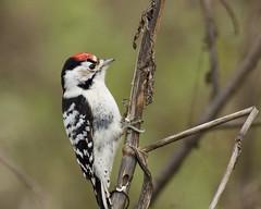 Lesser Spotted Woodpecker | by Sergey Yeliseev