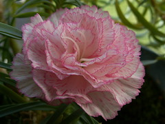 Carnation | by Allie's.Dad