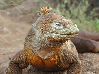 Galapagos Land Iguana   by ChrisIrmo