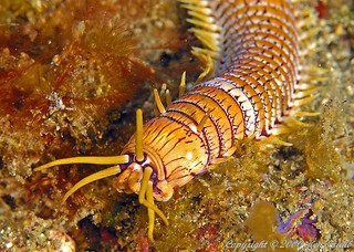 9522 Bobbit worm | by DiverKen