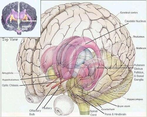 3 d brain diagram intracranial flickr3 d brain diagram by intracranial